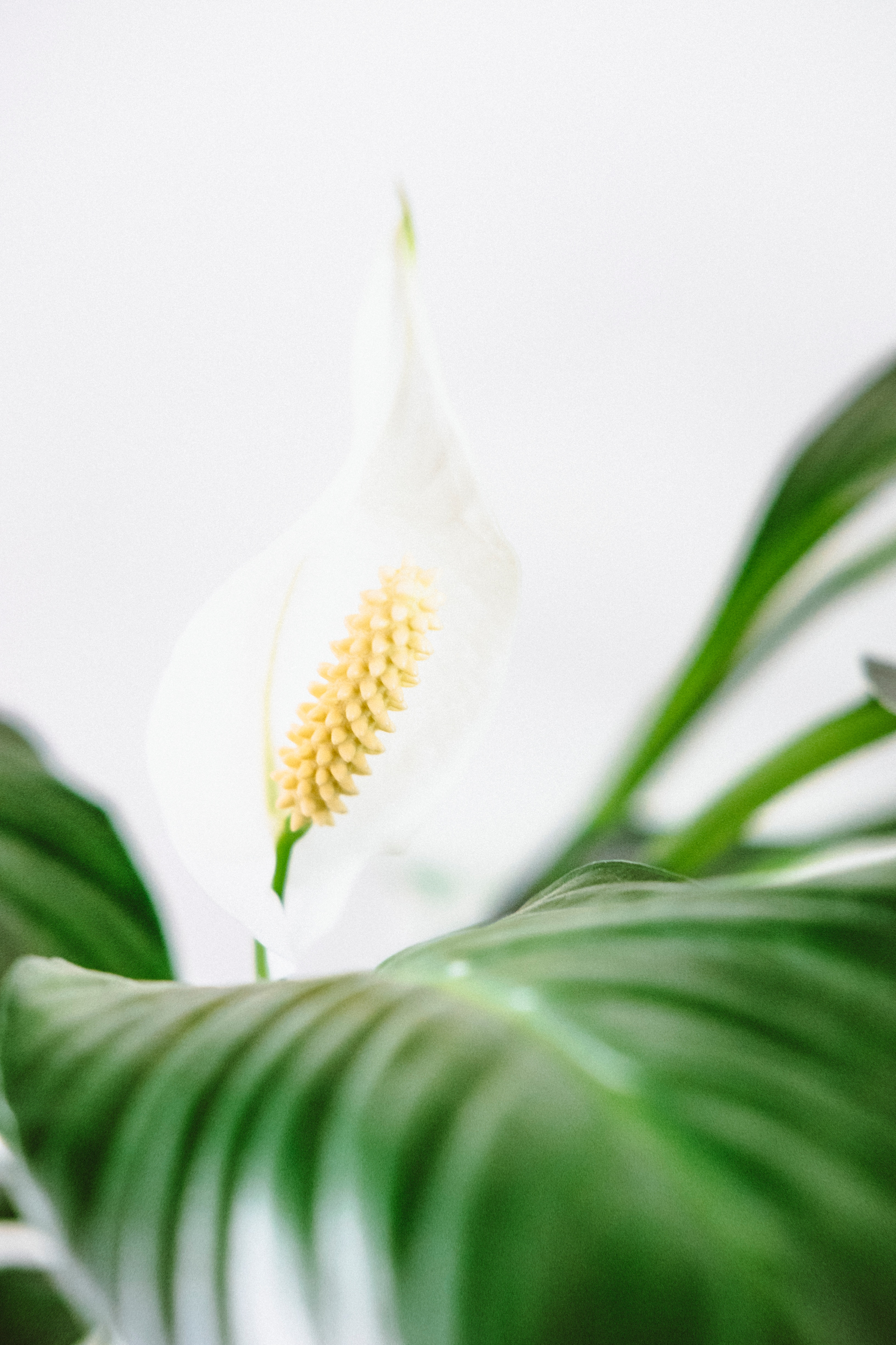 How My Peace Lily Got Its Name Zero Waste Bystander